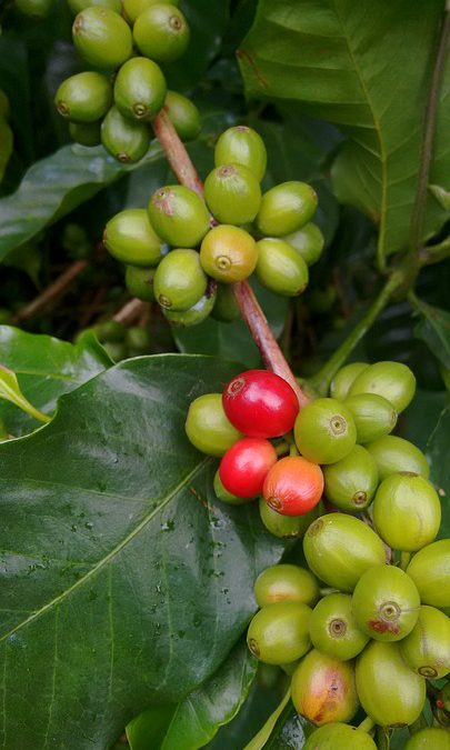 Panama Coffee – A Cup Above the Rest